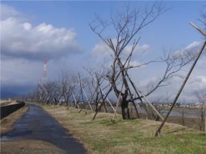6 堤防の桜並木